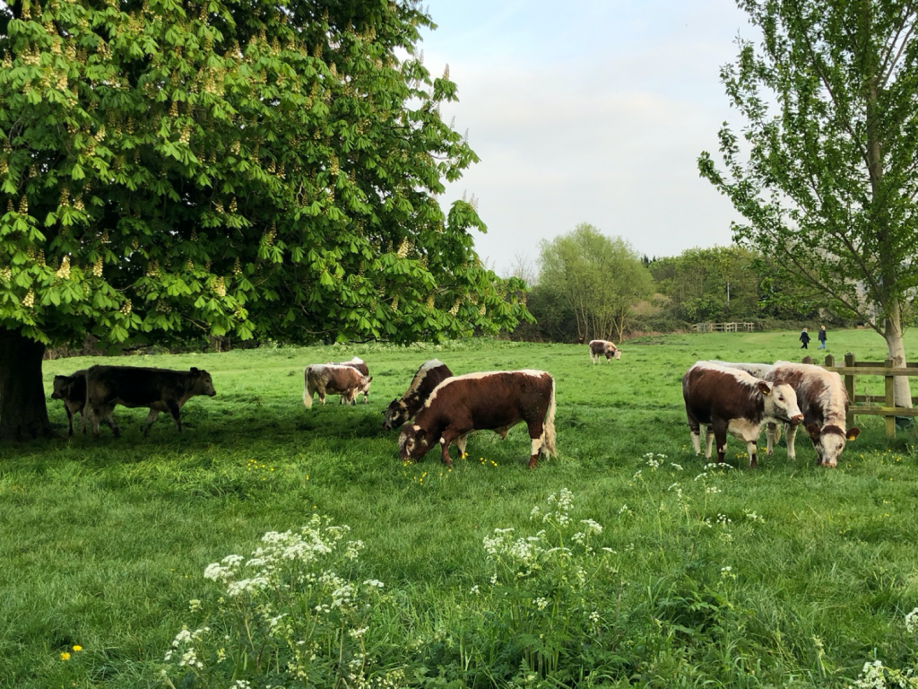 Group of brown/white cows on a meadow under trees